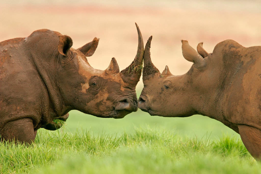 rhinoskissing